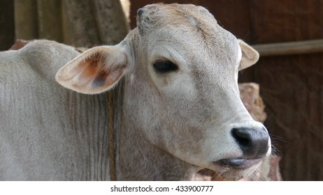 CUTTACK, INDIA - 17 MAY, 2016: Indian cow close up.