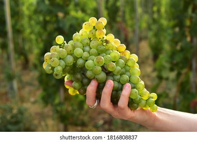 Cutted mature white grape hold by woman hand with grapevines on the background.