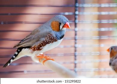 Cut-throat Finch bird in cage