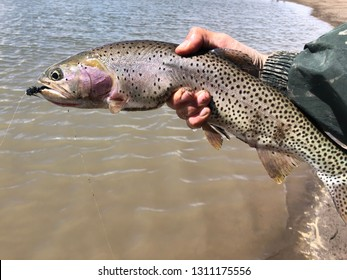 Cutthroat trout caught fly fishing, with a black wooly bugger fly in its mouth