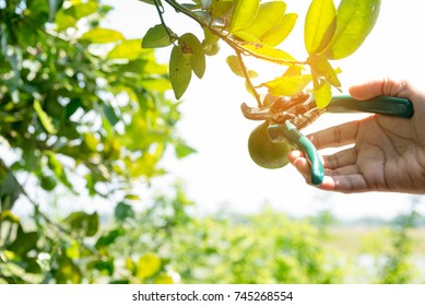 Cutting branches of lemon tree with sunrise, trimming
