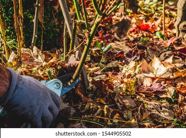 Cutting branches and pruning withered plants. The concept of cleaning and caring for the garden. The man pruns the branches, removes withered plants. Autumn cleaning before winter, spring cleaning.