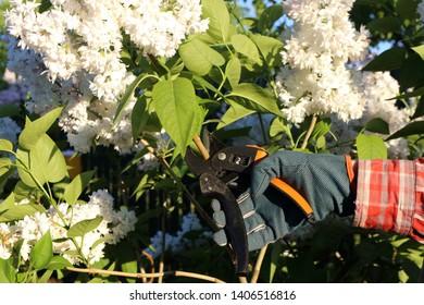 Cutting of a cultivar common lilac (Syringa vulgaris 'Krasavitsa Moskvy') inflorescence with garden secateurs for a bouquet in the spring garden