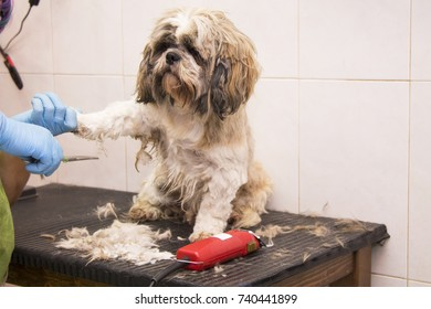 cutting the dog hair in the hairdressing salon