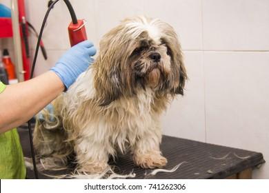 cutting the dog's hair