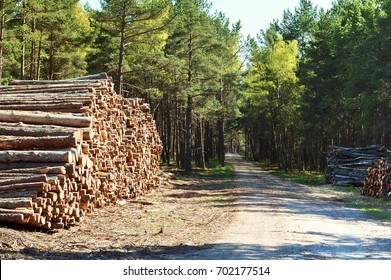Cutting down tree trunks. Logs stacked in a row. Felling forest trees.