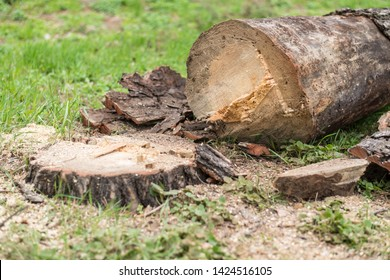 Cutting down trees. Sawn logs lying on the grass. Cleaning the park from old, sick trees.