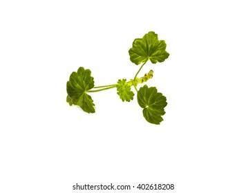 cutting geraniums with leaves isolated