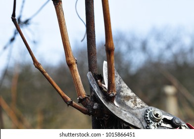 cutting the grapevine with old rusty scissors , wine production , spring vineyard work czech republic south moravia mikulov