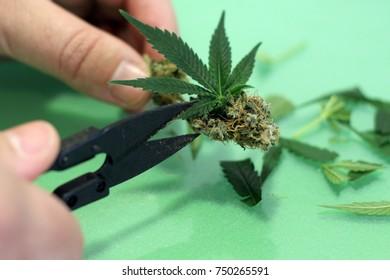 Cutting green marijuana