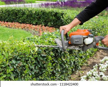 Cutting a hedge with hedge trimmer.The gardener is trimming branches