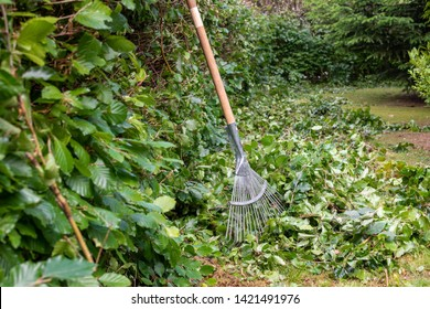 Cutting a hornbeam hedge. A rake is standing next to freshly cut leaves.