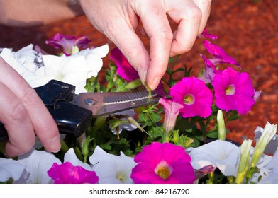 Cutting off the seedpods on a pot of petunias