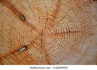 Cutting of a trunk of a coniferous tree