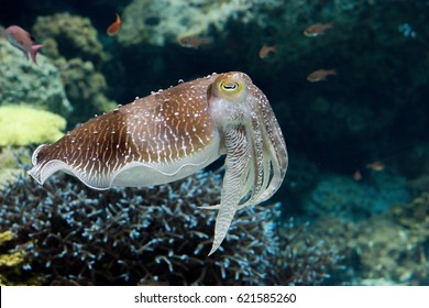 Cuttle fish in Nature background