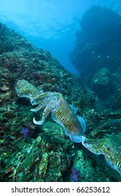 Cuttle fish, order Sepiida, class Cephalopoda, train at Thailand's famous Dive site Richelieu Rock in the Andaman sea!