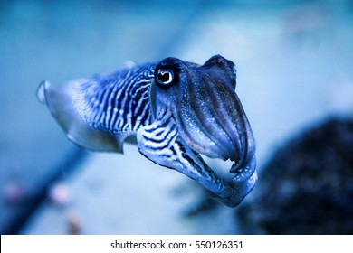 Cuttlefish in the aquarium. Amazing sweet zebra striped cephalopoda looking straight into the eyes of the observer.