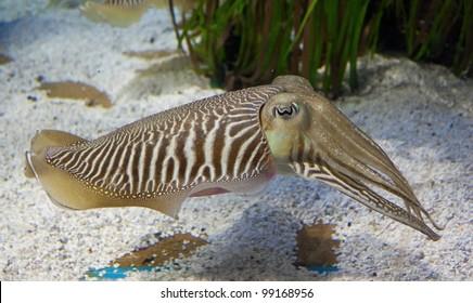 Cuttlefish in aquarium with white sand