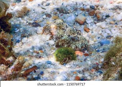 Cuttlefish camouflage. Cuttlefish Swimming underwater
