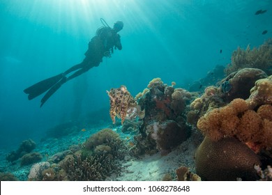 Cuttlefish and diver near soft corals.  Picture was taken in the Ceram sea, Raja Ampat, West Papua, Indonesia
