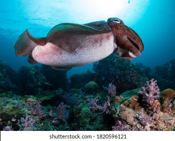 Cuttlefish eat small molluscs, crabs, shrimp, fish, octopus, worms, and other cuttlefish. Their predators include dolphins, sharks, fish, seals, seabirds, and other cuttlefish.