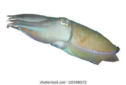 Cuttlefish fish isolated on white background