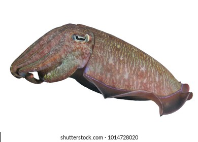 Cuttlefish isolated. Live underwater Pharaoh Cuttlefish cutout white background