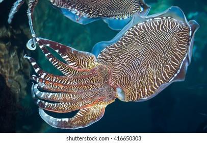 cuttlefish on farm