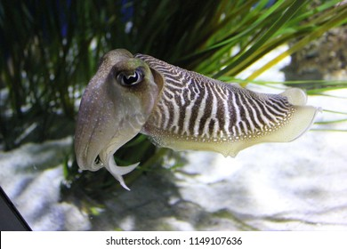 Cuttlefish on the prowl
