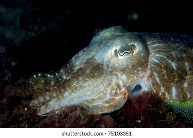 Cuttlefish (Sepia officinalis) changin color, shot in Algarve, Portugal