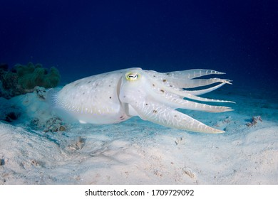 Cuttlefish swimming on the reef