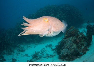 Cuttlefish, a type of cephalopod taken on the Great Barrier Reef