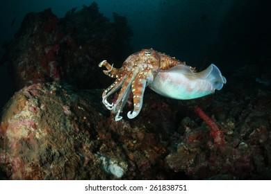 cuttlefish, underwater shoot, Andaman sea, Thailand