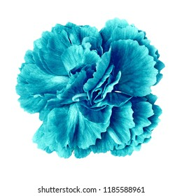 cyan cerulean carnation flower isolated on white background. Close-up. Nature.
