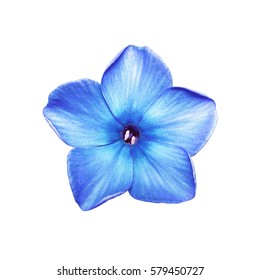 Cyan Phlox Flower Isolated on White