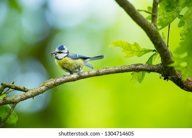 Cyanistes caeruleus. Wildlife. Wild nature of Czech. Beautiful picture. Free nature. From bird life. Spring. Blue bird.