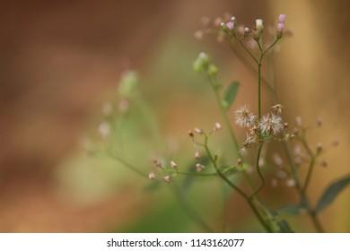 Cyanthillium cinereum plants. It is also called little ironweed and poovamkurunnila.