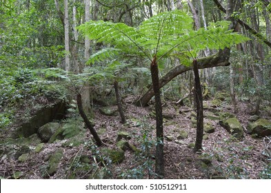 Cyathea dealbata, also known as the silver tree-fern grows in the rainforest of Jamison Valley at the Blue Mountains in New South Wales, Australia.