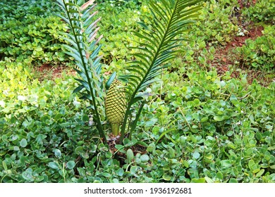 CYCAD WITH MALE SEED POD IN A BOTANICAL GARDEN