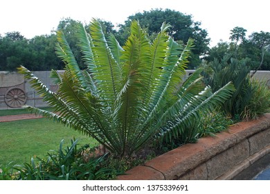 CYCAD ON THE GROUNDS OF THE VOORTREKKER MONUMENT WITH OX WAGON ON PERIMETER WALL IN BACKGROUND