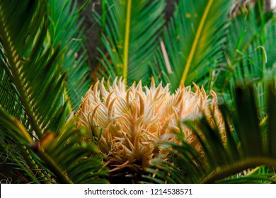 Cycad scientific name is Cycas circinalis L.