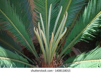Cycas revoluta also called sago palm, king sago, sago cycad, Japanese sago palm.