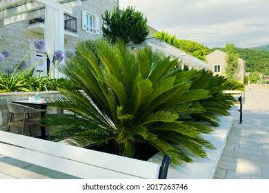 Cycas Revoluta. Lush green palm leaves in sunny day. Rest, vacation and travel on sea coast. Green palm tree on seashore.