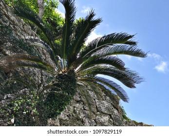 Cycas revoluta or Sago palm or King sago or Sago cycad or Japanese sago palm at Nakagusuku-jo Site in Okinawa, Japan.