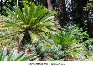 Cycas revoluta (sago palm, king sago, sago cycad, Japanese sago palm) in botanical garden