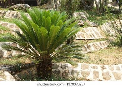 Cycas revoluta or Sotetsu, king sago