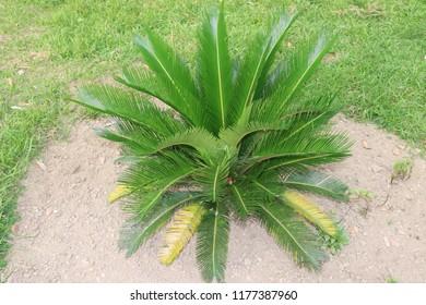Cycas revoluta.Circus Palm Plant.Beautiful and amazing scenery.