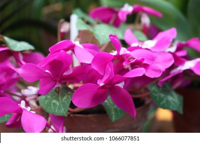 Cyclamen close up. Macro. A beautiful bright background with pink colors of a cyclamen horizontally. Primulaceae Family. Cyclamen persicum.