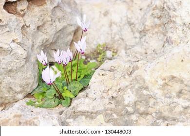 Cyclamen Cyprium (Cyprus cyclamen) growing on a rock