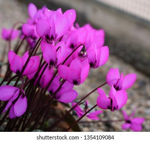 Cyclamen flower. Beautiful tulips flower in cyclamen field at winter or cyclamen day. Colorful cyclamen flower in the garden. Beautiful tulips flower for postcard beauty and agriculture concept design